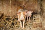 Construction de deux grandes porcheries: la population consultée